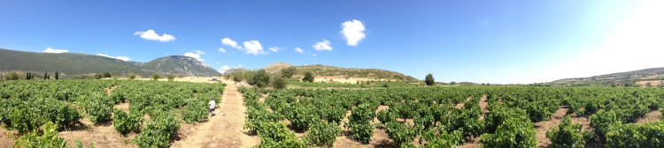 Episkopi vineyard with Kontoura white at the slopes of Helicon mountain